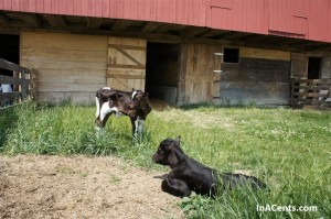 120513 Sauder Village Baby Calves