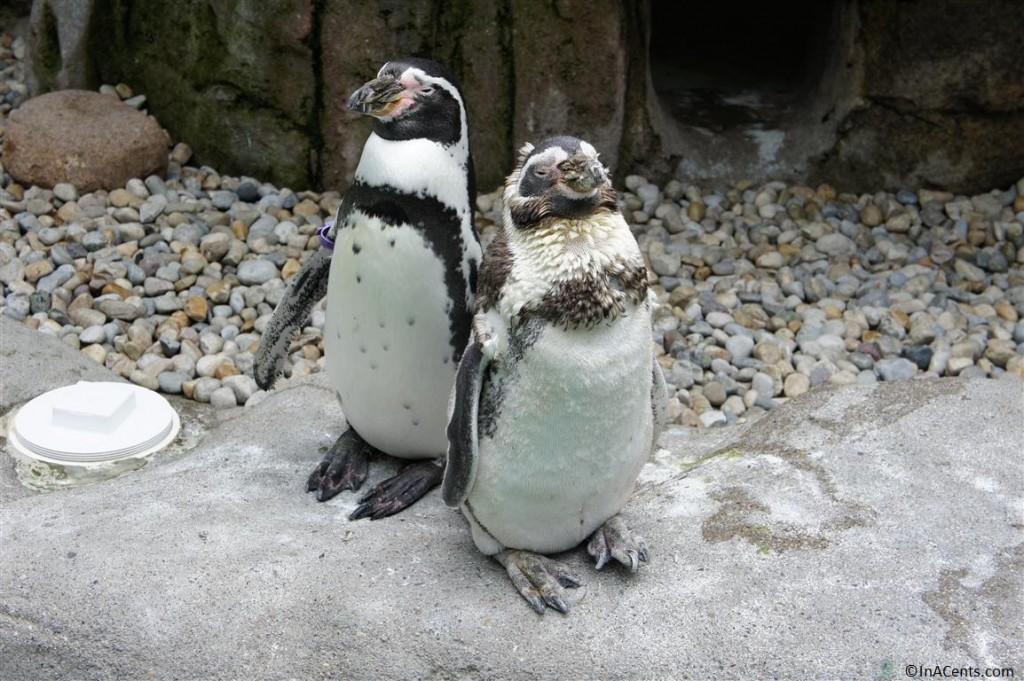 120902 Columbus Zoo Penguins