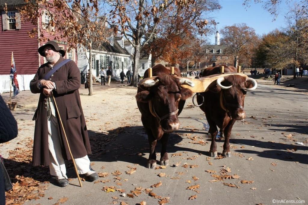 121122 Colonial Williamsburg Oxen