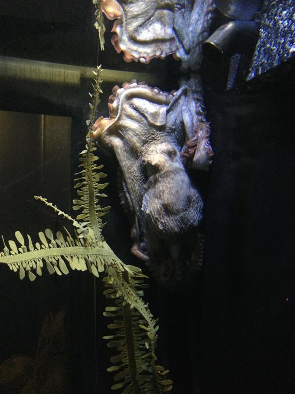 140216 Aquarium of the Bays Giant Octopus