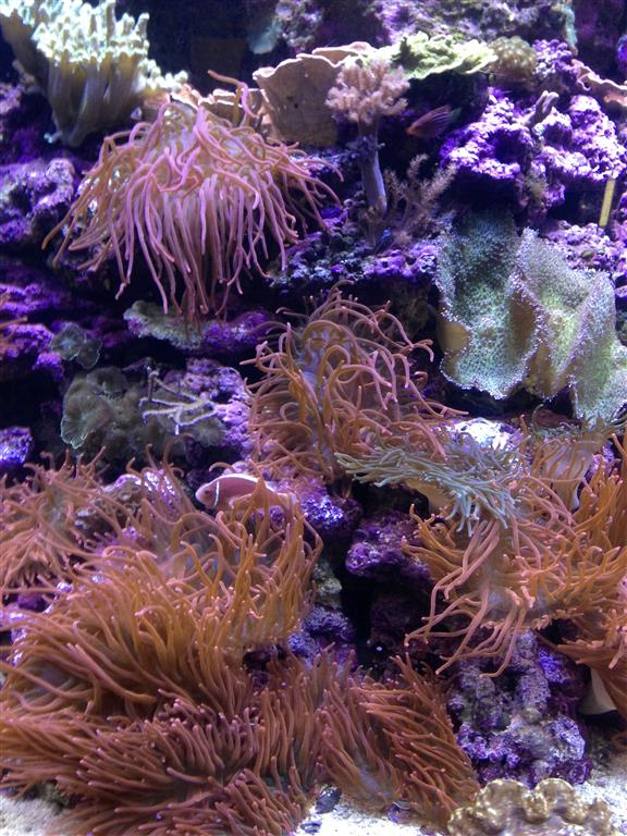 140216 Aquarium of the Bays Sea Anemones