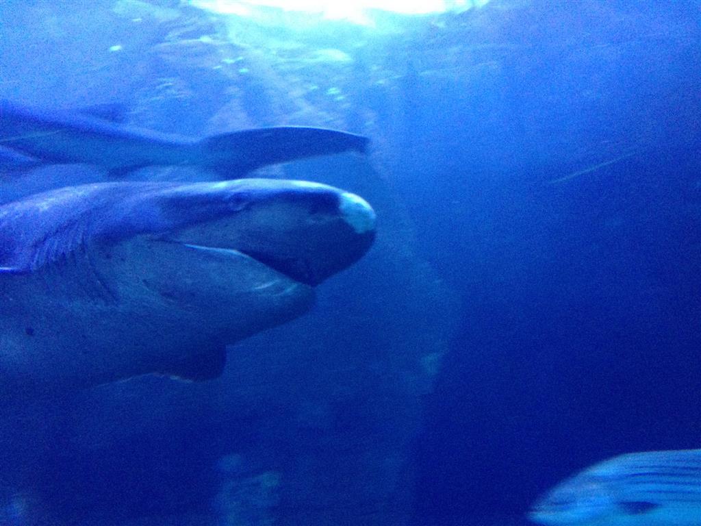 140216 Aquarium of the Bays Sevengill Shark