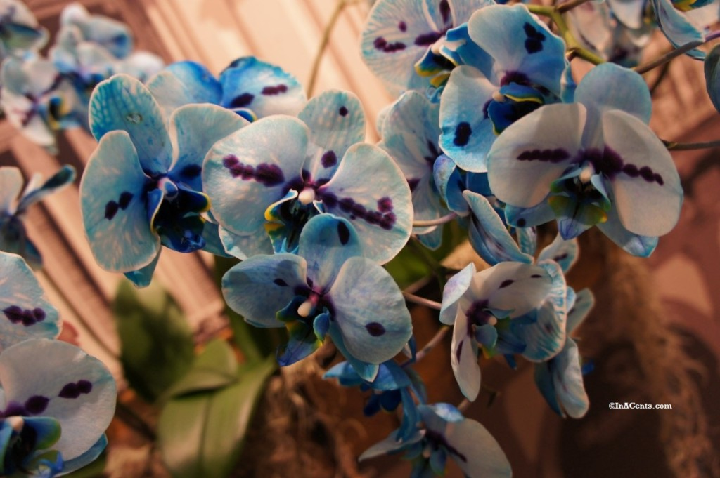 160224 Orchid Mania Cleveland Botanical Gardens (2)