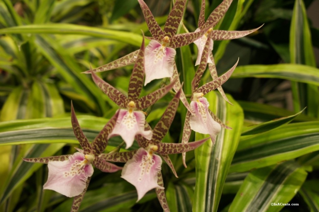 160224 Orchid Mania Cleveland Botanical Gardens (3)