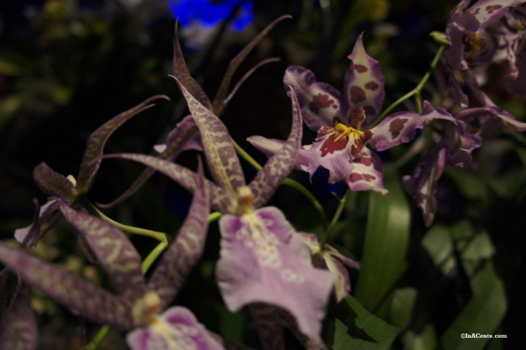 160224 Orchid Mania Cleveland Botanical Gardens (4)